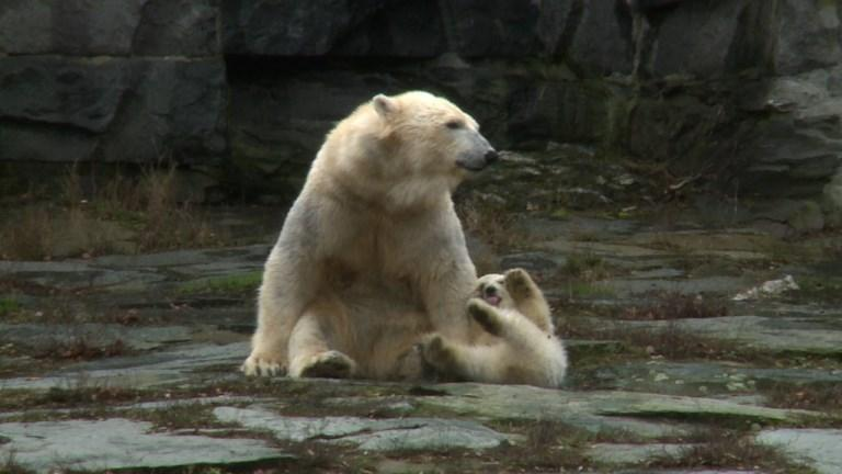 Polar bear cub takes first steps in Berlin zoo