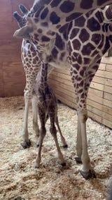 April the Giraffe gave birth to a baby boy on Saturday.
