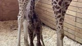 April the Giraffe gave birth to a baby boy on Saturday.