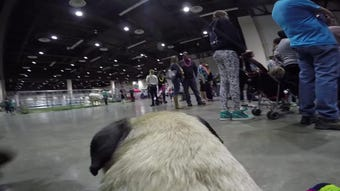 Watch these grumbling pugs strut their stuff on the catwalk at the 10th annual Pug Parade Sunday,  March 17, 2019.