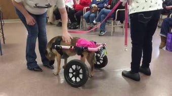 Laura, owned by Rescued Rollers Founder, uses a wheelchair to greet the crowd during a presentation.