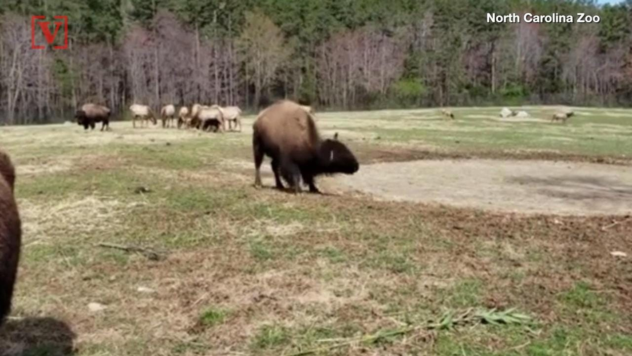 Watch this 800-pound bison do its 'happy dance'