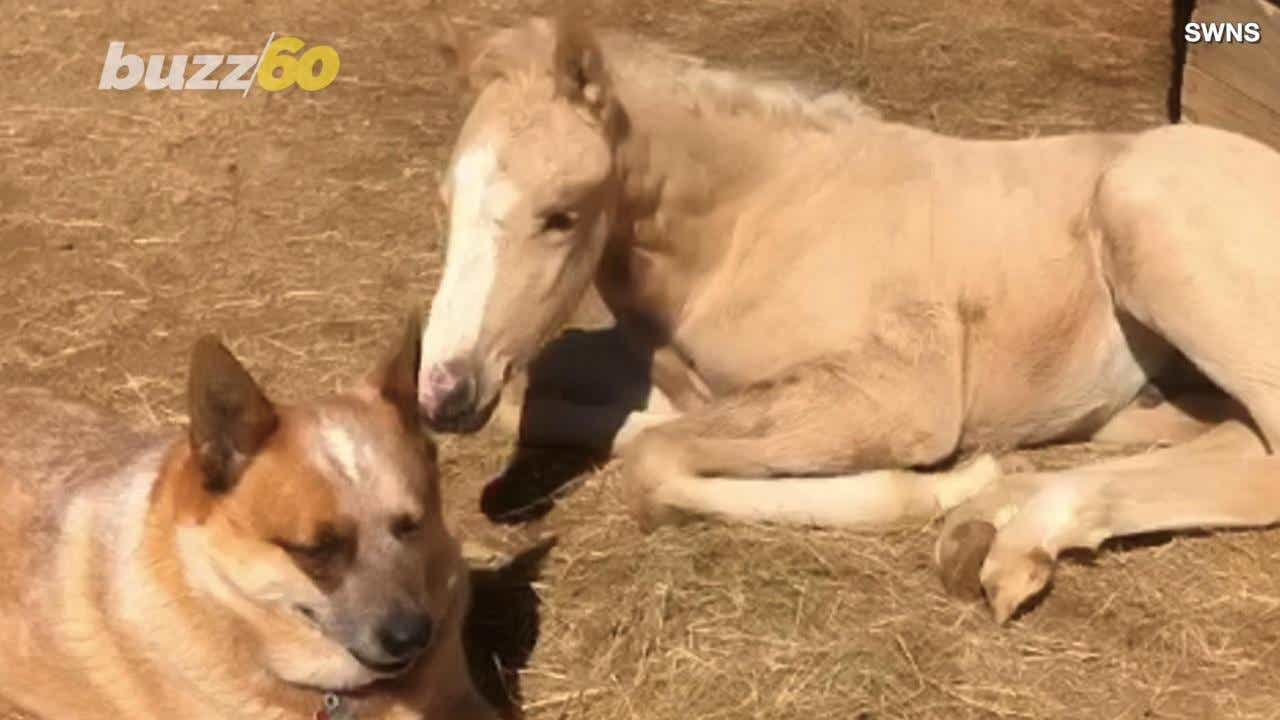 Dog takes care of orphaned infant horse