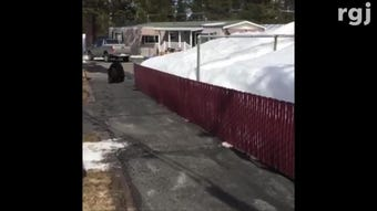 Truckee resident Bobby Peterson shared a video of 'Big Boy' the black bear as it was fleeing the crawl space of his trailer home on March 17, 2019.