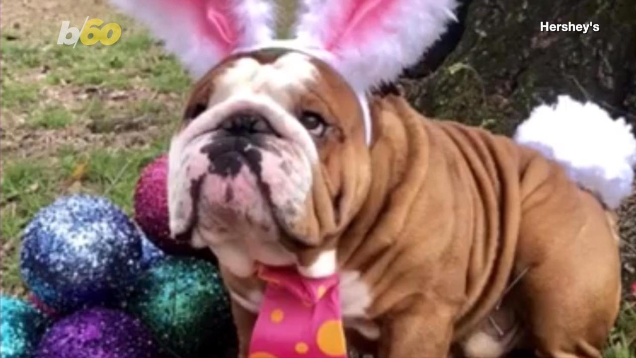 English Bulldog wins Cadbury 'bunny tryouts'