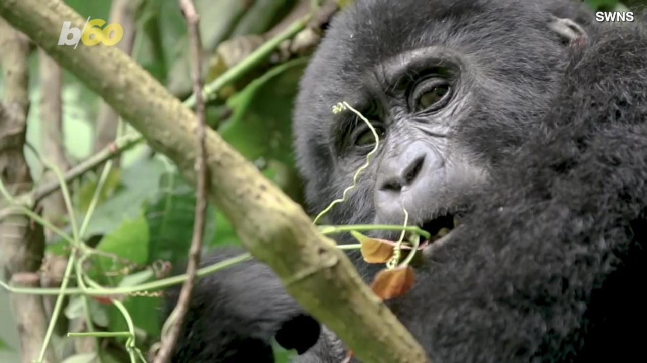 Photographer films endangered baby gorillas