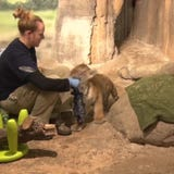 Kash, the Zoo's tiger cub, gets the personal touch at feeding time