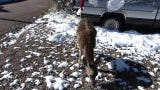 A mule deer forages in a homeowner's parking lot after a snow storm drops 4 inches in Ruidoso.