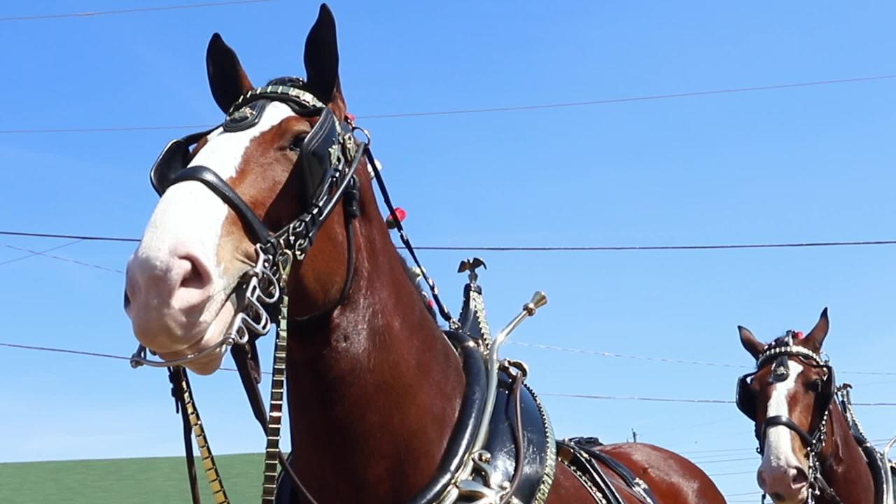 Two famed Clydesdales ill, delaying trot from El Paseo to Stagecoach, which is now Thursday