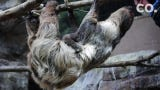 The new baby sloth joins mom Charlotte, dad Elliot and big sister Baby Ruth.
