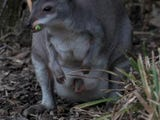 A rare 'miniature kangaroo' native to Indonesia, has been caught on camera at a UK zoo for the first time since its birth in early spring. (April 17)