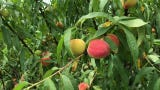 Ken and Alise Edison have Florida peaches you can pick yourself right off their trees, just a few miles west of  Melbourne at Deer Park Peaches.