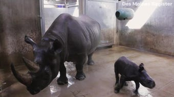 Blank Park Zoo's 2-week-old eastern black rhino calf just got her first bath. And it is adorable!