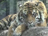 Officials say a Kansas zookeeper who was attacked by a Sumatran tiger is out of intensive care. Zoo director Brendan Wiley has said the zoo is investigating the incident. (April 22)