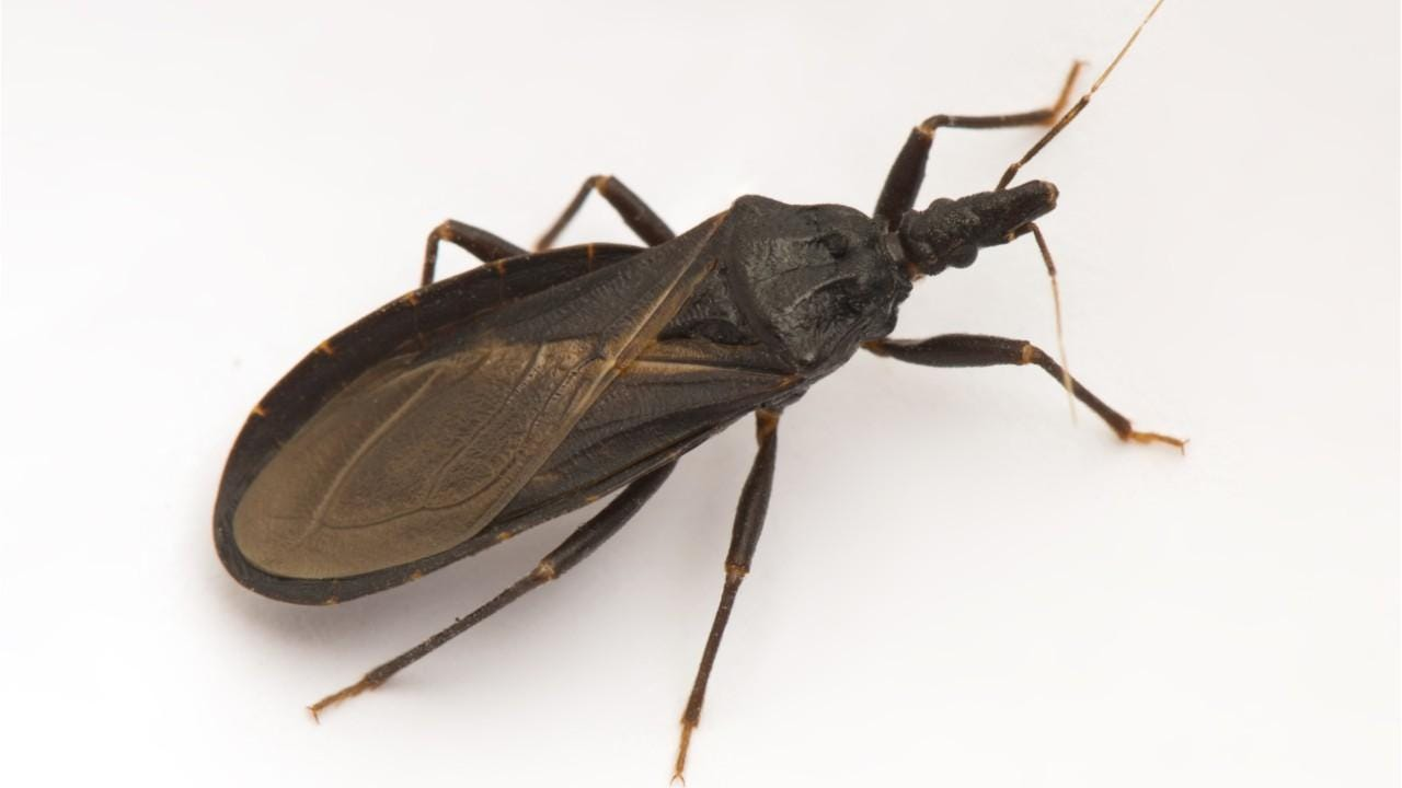 Image result for Kissing bug
