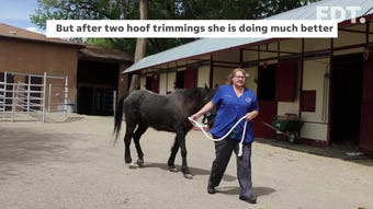A 16-year-old mare is walking much better after a hoof trimming.