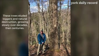 There are trees in York County more than 400 years old.