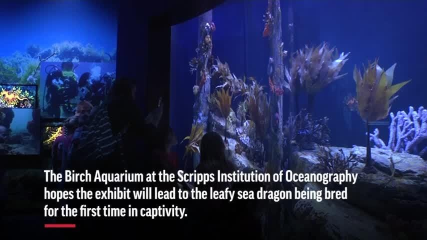 A myth? A leaf? Aquarium displays rare sea dragons