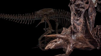The 31,000-square-foot exhibition will feature an authentic Tyrannosaurus rex skeleton alongside more than 700 other fossil specimens, including mammals, reptiles, plants and insects—some never before displayed at the museum.