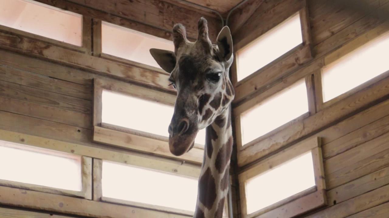 Blank Park Zoo's Zuri the giraffe dies at age 21