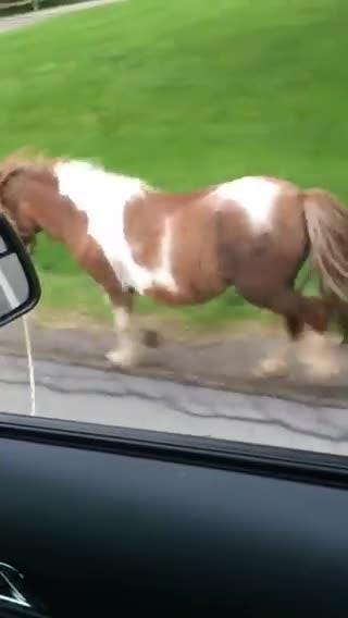 Mini Horse On The Loose In Ogden Ny