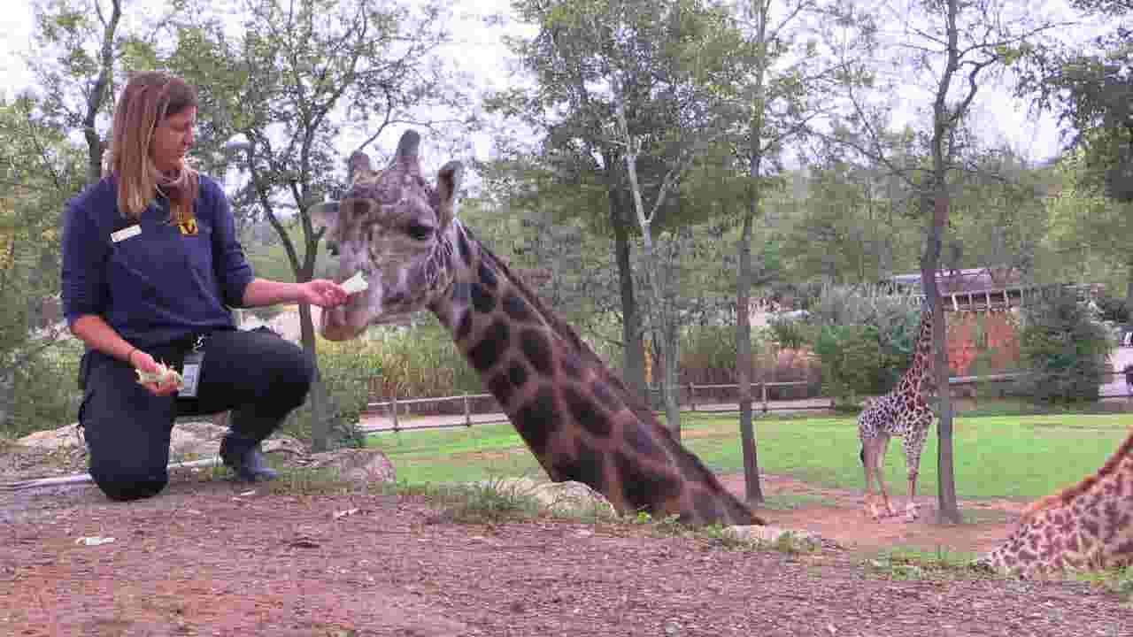 Nashville Zoo giraffe Margarita euthanized after complications from arthritis