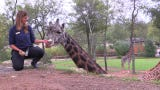 The giraffes at the Nashville Zoo.