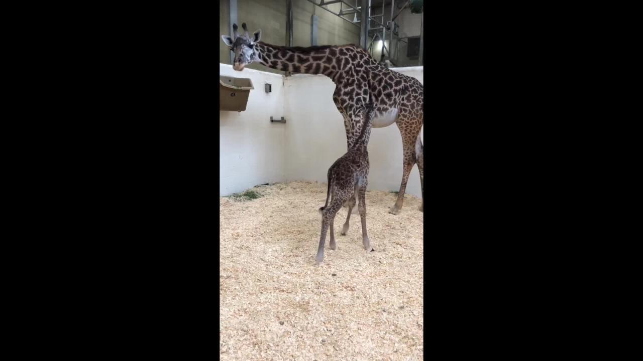Columbus zoo giraffe cam
