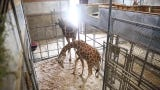 For the first time in nearly two decades, a giraffe at Zoo Knoxville is pregnant.