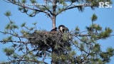 In this contributed video, an eagle living outside of Redding feeds a baby hawk it took in along with one of its own offspring.
