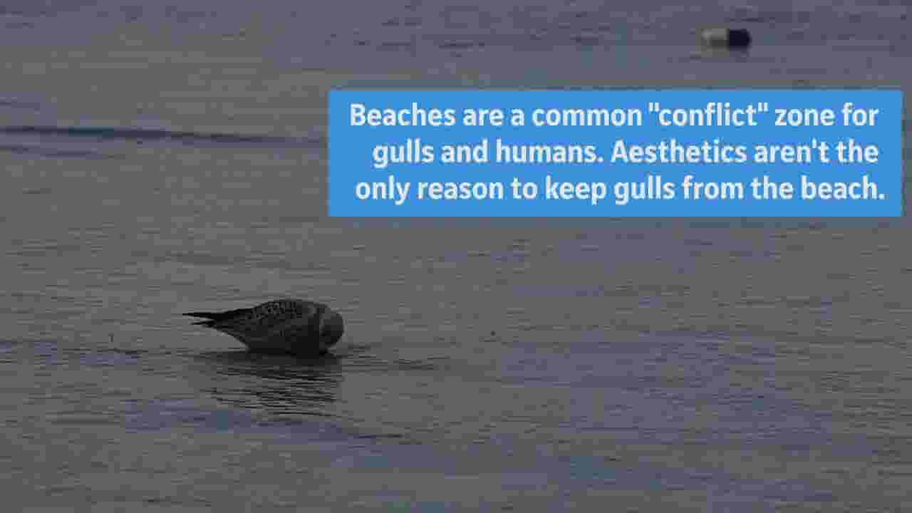 If you're seeing more Great Lakes sea gulls, here's why