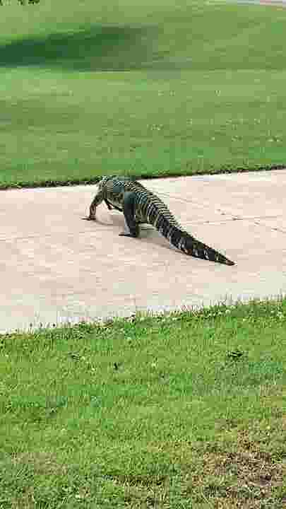 Passerby, neighbors lasso alligator after it escapes in Milford Twp.