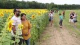 An estimated 500,000 sunflowers are on display next to Stone Bank School in the Town of Merton