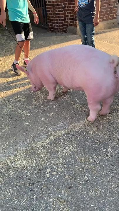 Video of pig whipping at Iowa State Fair raises the question: Do pigs feel pain?