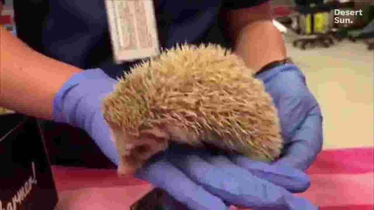 Rare albino hedgehog found in Riverside